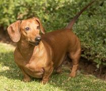 dachshund-2794944_1920