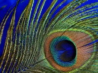 peacock-feather-3030524_1280