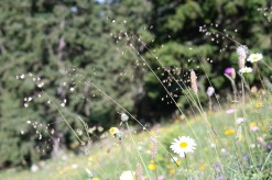 quaking-grass-1837773_1280