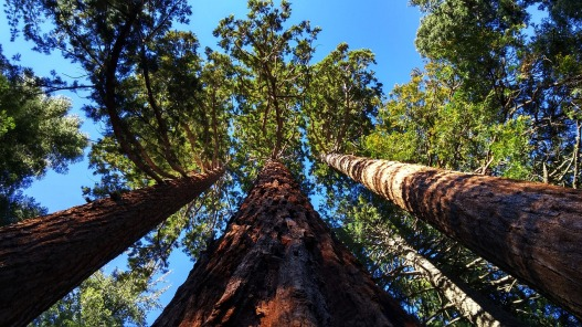 giant-sequoia-grove-near-auburn-804575_1280.jpg
