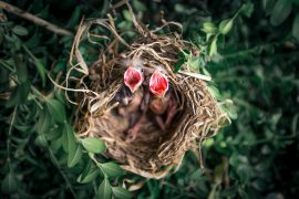 animals-baby-birds-bird-nest-1275680.jpg