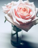 closeup-photography-of-pink-rose-flower-in-clear-glass-vase-835773