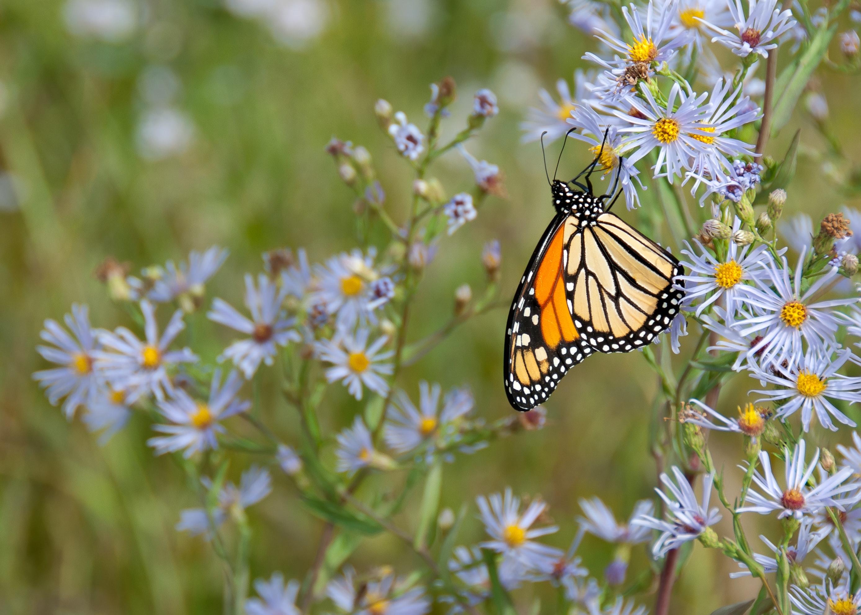 monarch-butterfly-on-flower-1564634