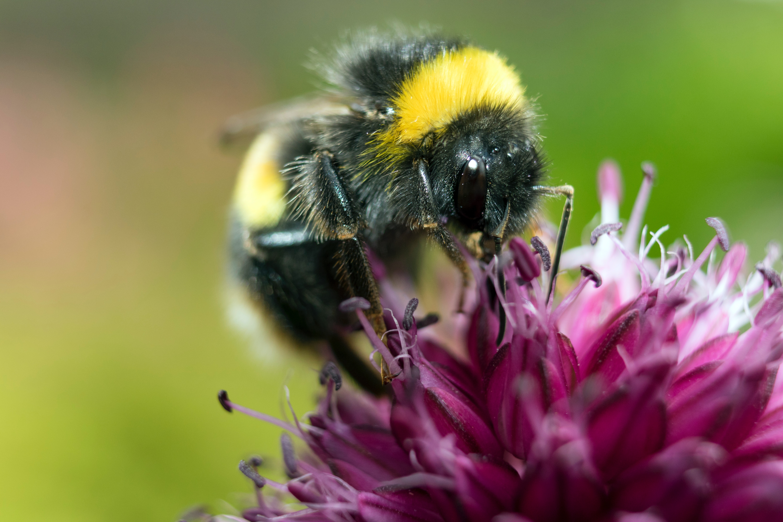 yellow-and-black-honeybee-on-pink-petaled-flower-1309008