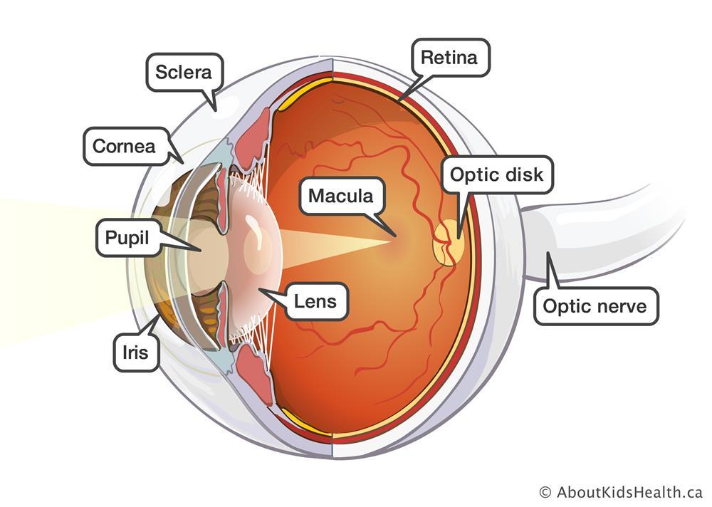 3D_eye_anatomy_02_MED_ILL_EN