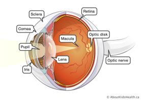 3D_eye_anatomy_02_MED_ILL_EN