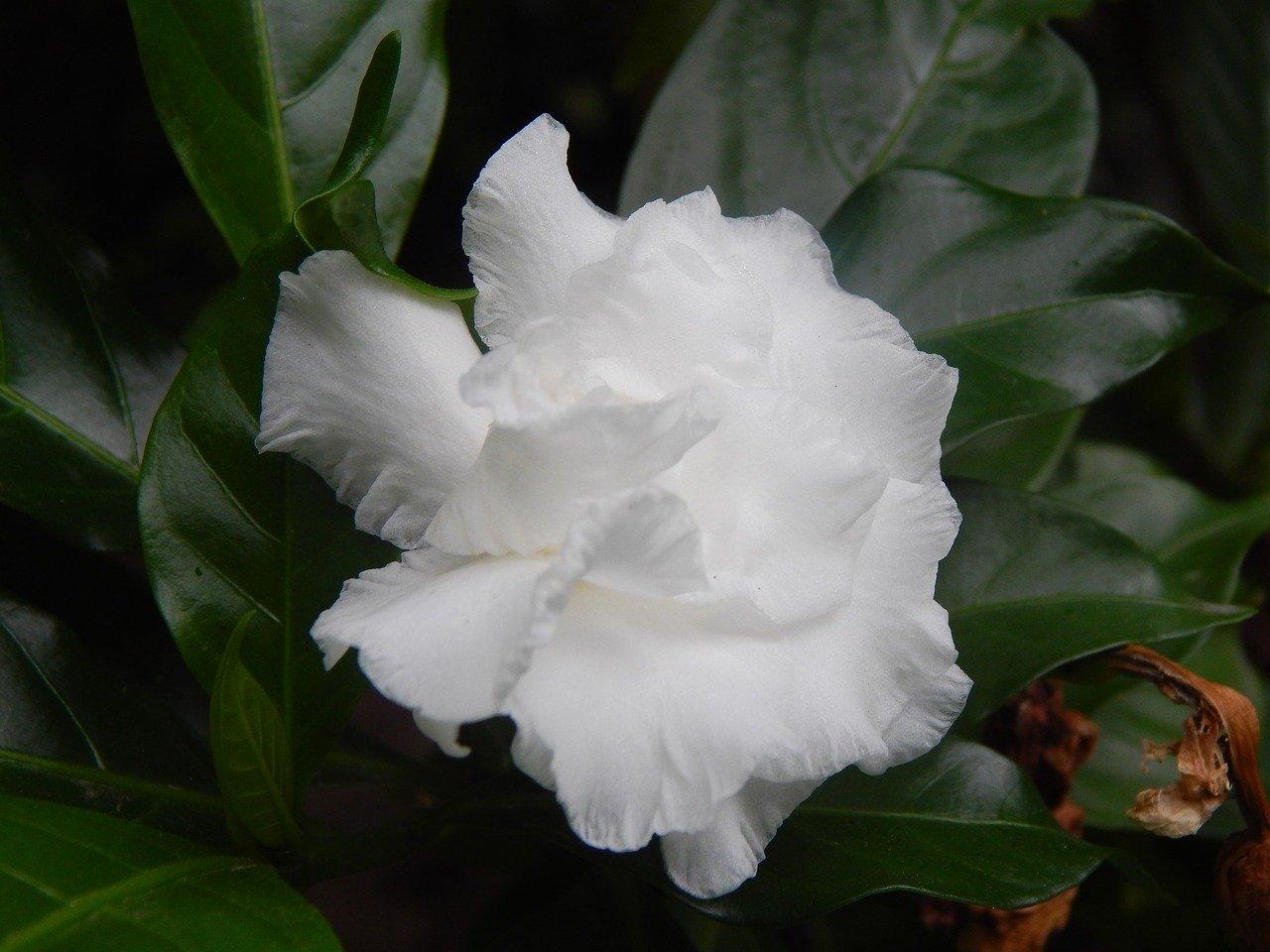 gardenia-2633393_1280